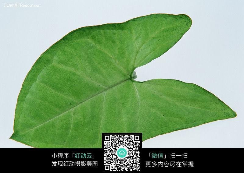 花卉叶子 绿色叶子 长条花卉叶子 银叶菊的叶子 橡皮树叶子 龙爪蕨的
