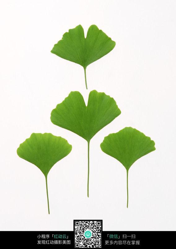 嫩绿的银杏叶178图片_花草树木图片图片