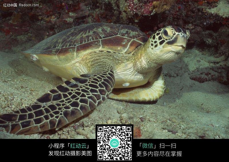 免费素材 图片素材 生物世界 水中动物 海龟197  请您分享: 素材描述