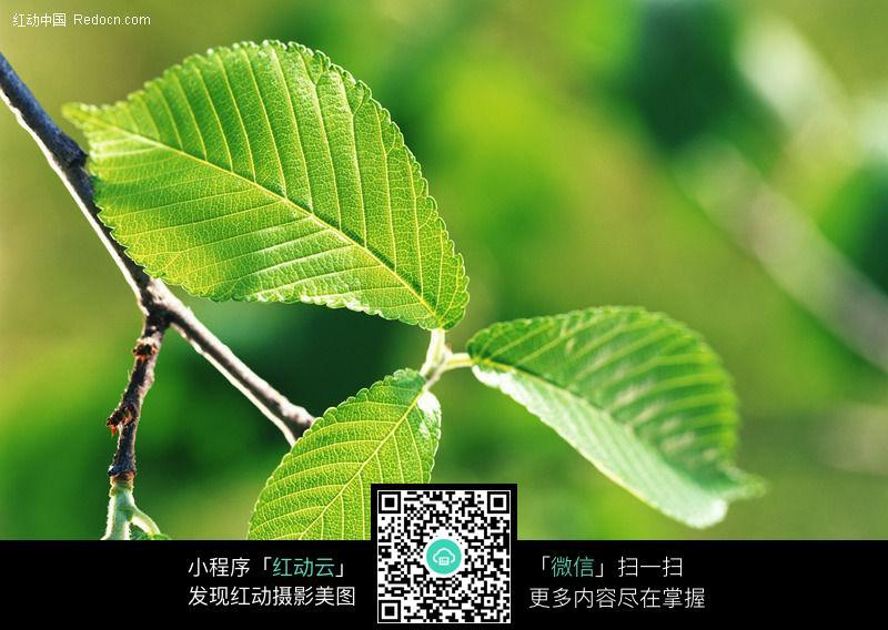 嫩绿色的树叶009图片_花草树木图片