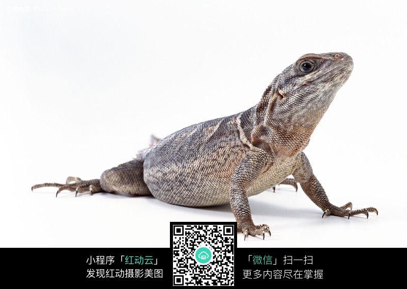 蜥蜴136图片_陆地动物图片