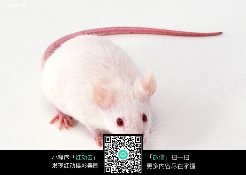 白老鼠054_陆地动物图片