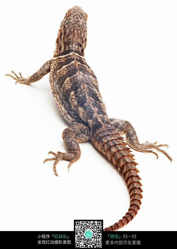 蜥蜴137_陆地动物图片