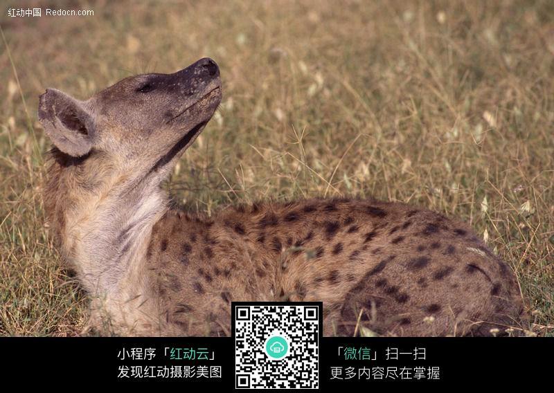 豺狼178图片_陆地动物图片