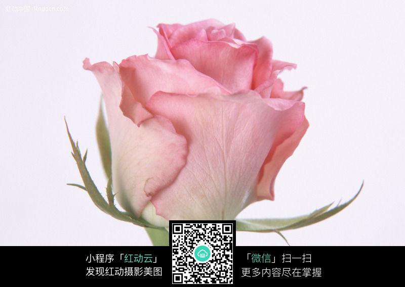 免费素材 图片素材 生物世界 花草树木 玫瑰花8