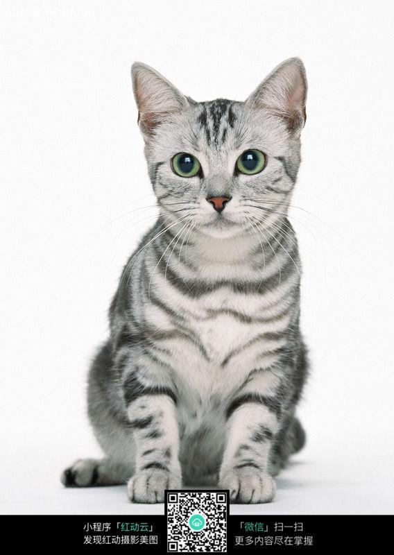美国短毛猫(虎纹)118图片_陆地动物图片