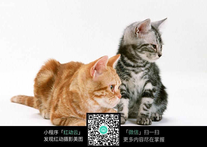 美国短毛猫虎纹130图片