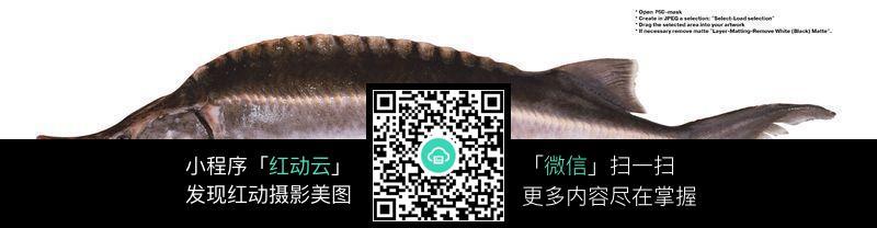 中华鲟_1图片