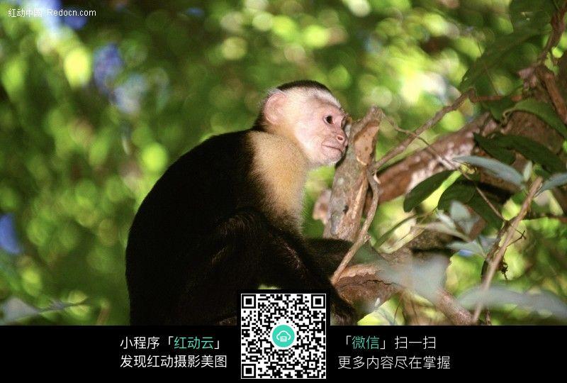 猴子图片_陆地动物图片