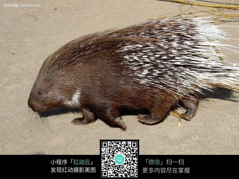 豪猪_006图片_陆地动物图片