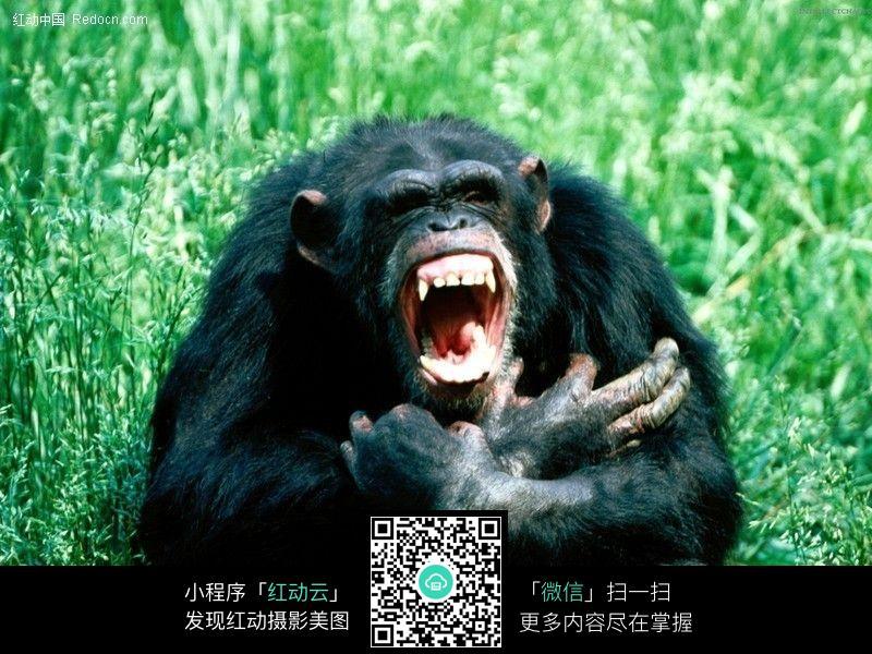 黑猩猩85_陆地动物图片