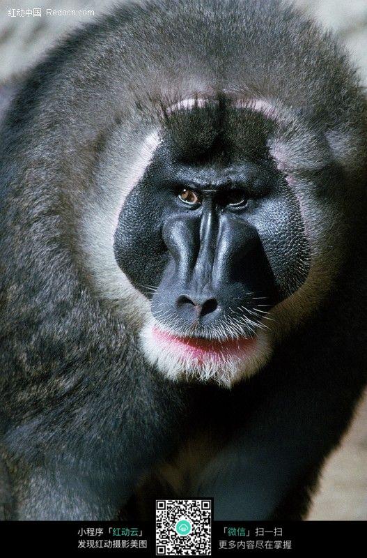 免费素材 图片素材 生物世界 陆地动物 狒狒