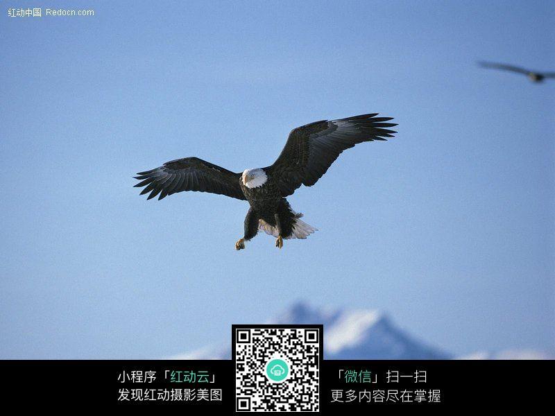 飞翔的老鹰图片 空中动物图片