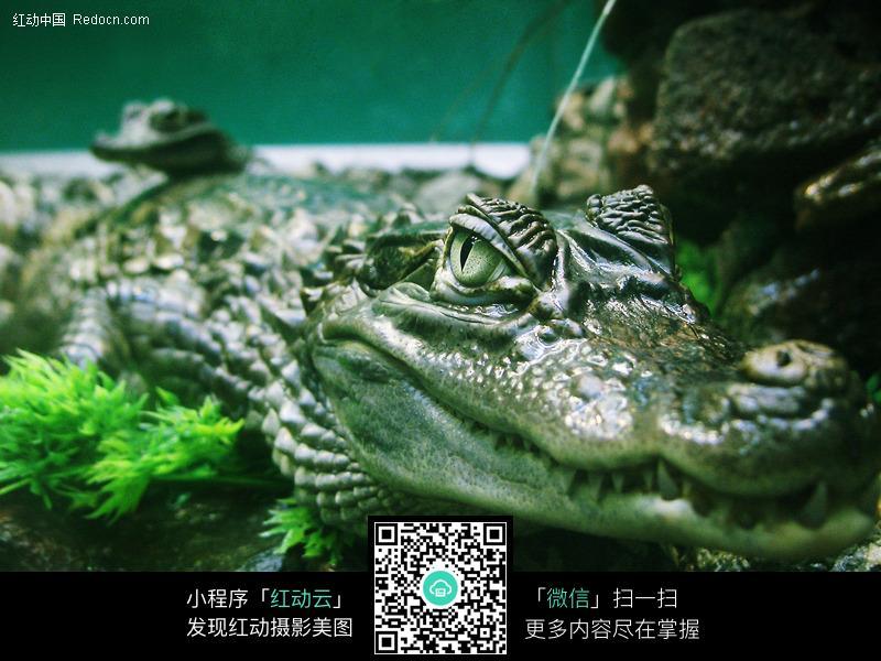 鳄鱼图片_水中动物图片