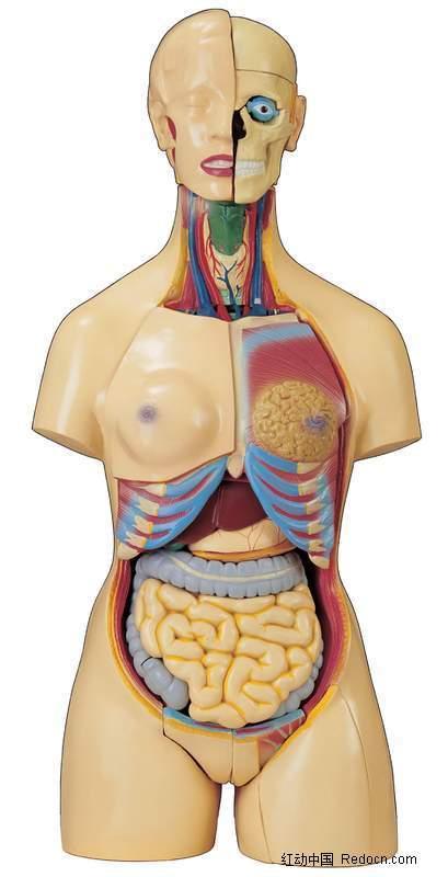 女性人体器官 人体内部结构图片