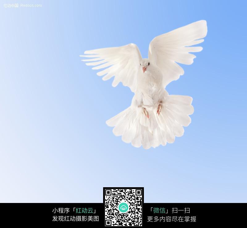 展开翅膀飞翔的白鸽图片