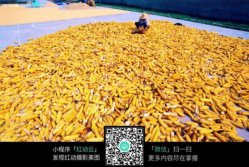 玉米丰收图片