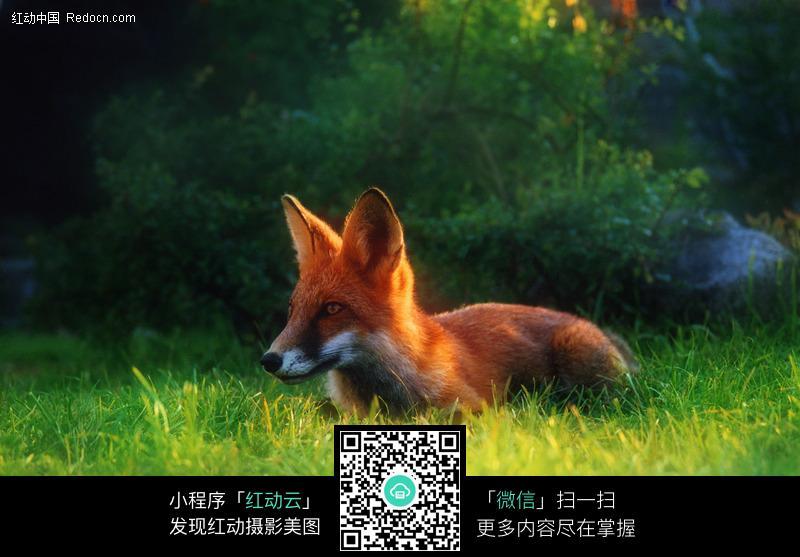 草地狐狸图片_陆地动物图片