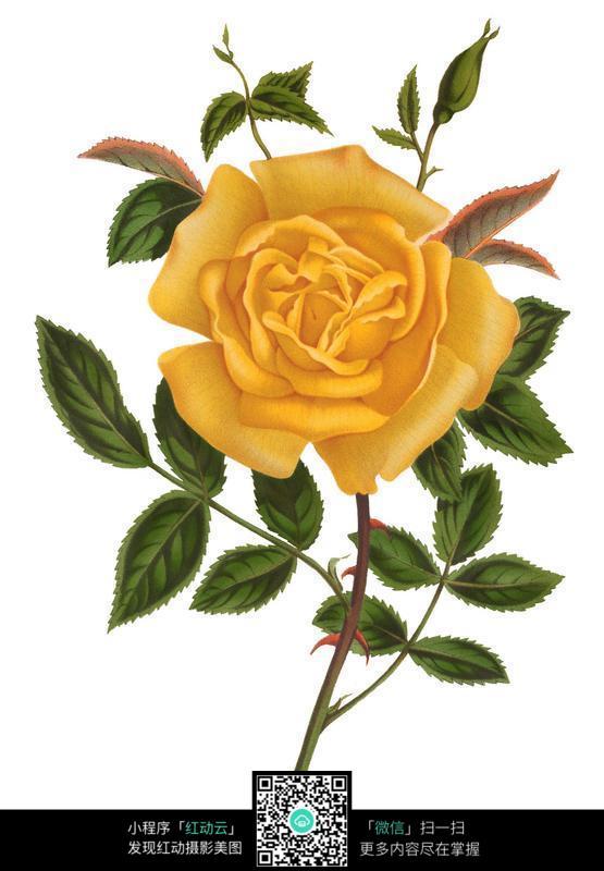 手绘黄色玫瑰花