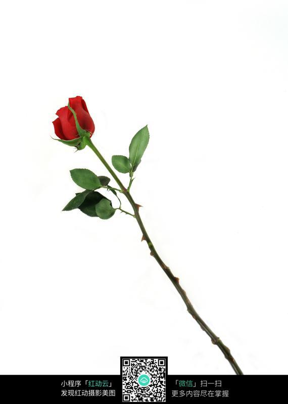 一朵玫瑰花