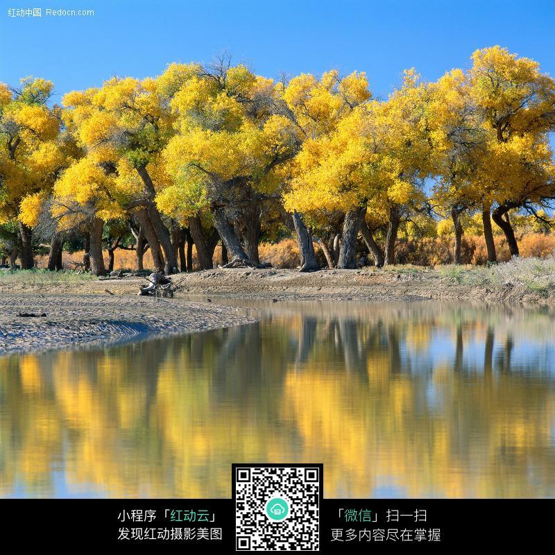 湖水里金色的大树倒影