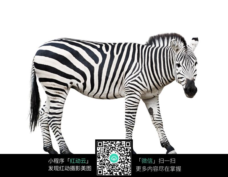 素材下载 图片素材 生物世界 陆地动物 > 斑马图片