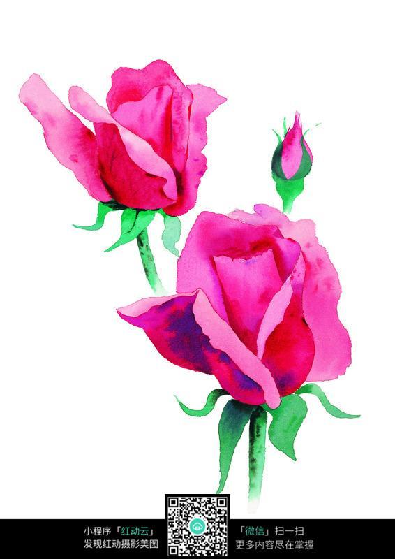 水彩风格粉红色玫瑰花图片