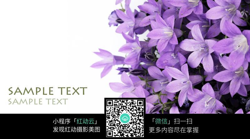紫色百合花素材高清图片