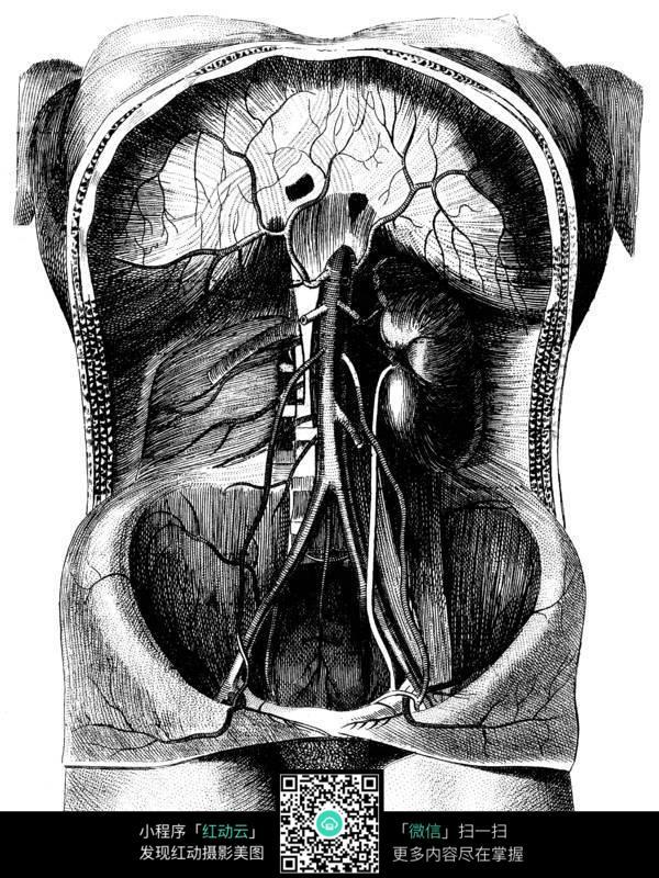 胸腔 内脏 人体器官 人物素材 摄影图片