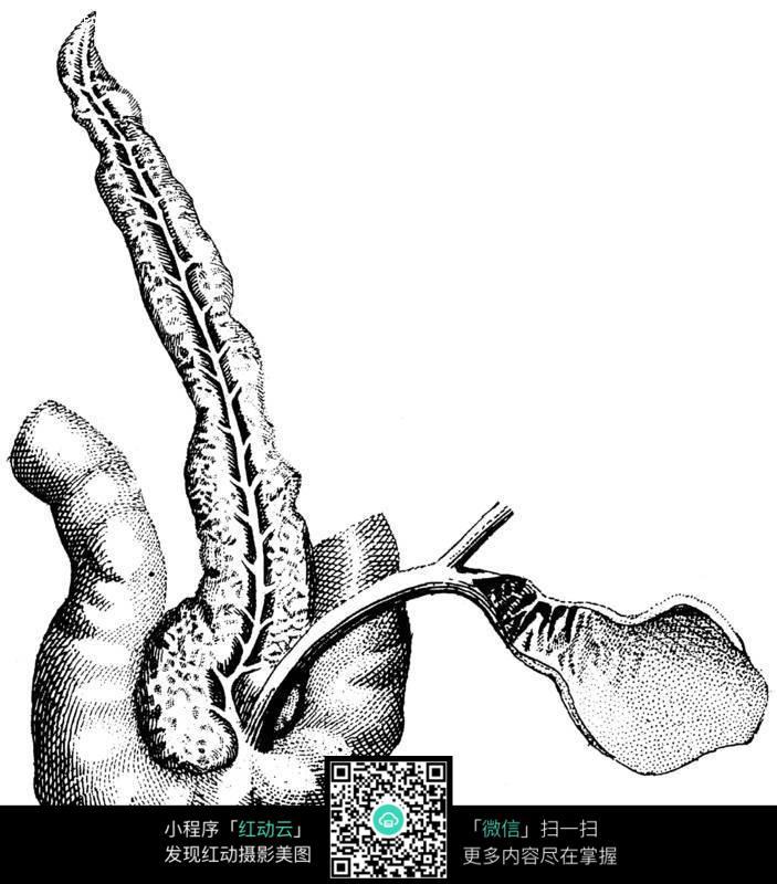 人体胆囊结构图