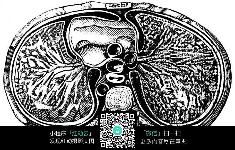 肾皮质手绘结构图红蓝