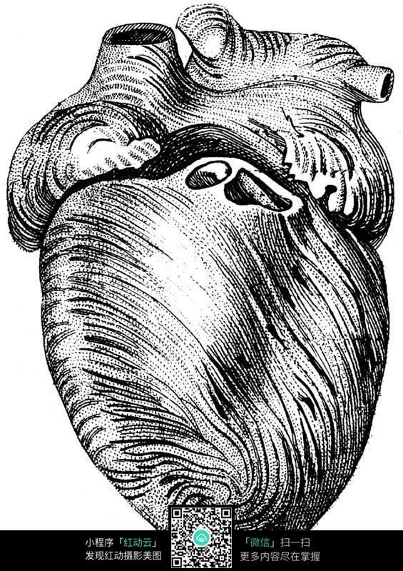 人体心脏解剖图