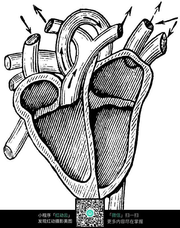 手绘人体心脏橙色结构图_人体器官_红动手机版