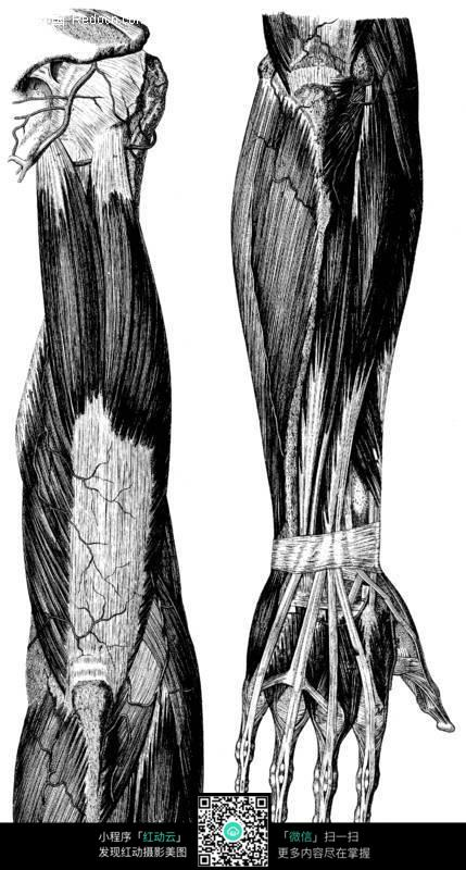 臂膀肌肉骨骼分布图图片图片