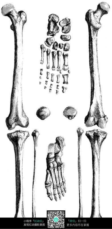 免费推广_腿部骨骼分析图片免费下载_红动网