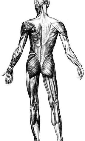 人体肌肉分布图_人体背部肌肉分布图图片免费下载_红动网