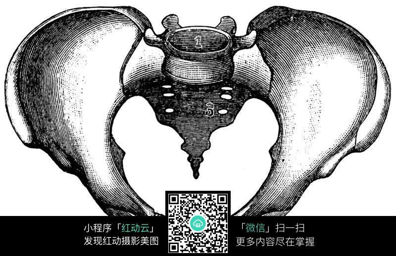 女性盆骨骨架结构图(正面)图片