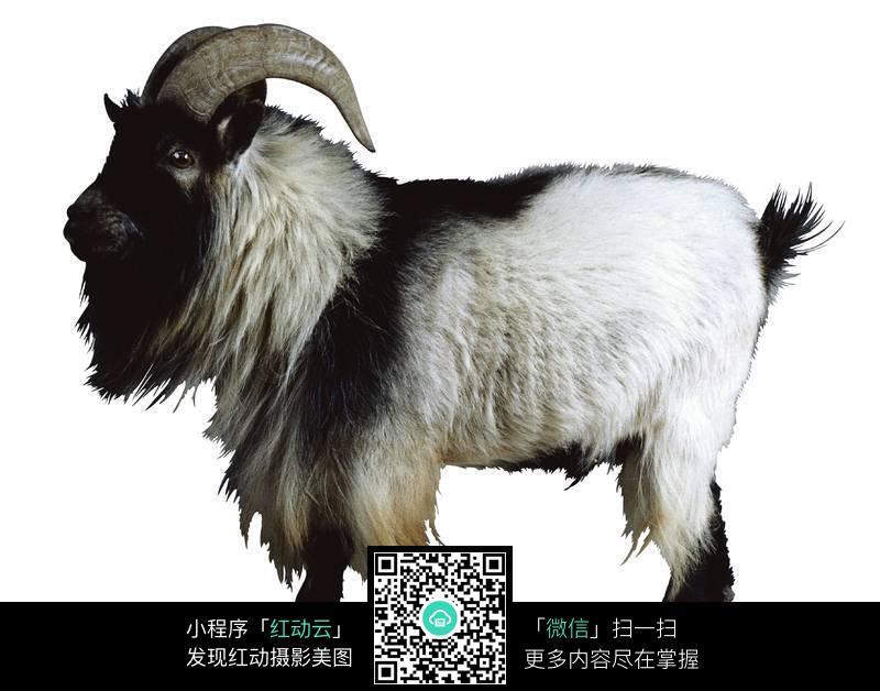 山羊高清图片_陆地动物图片
