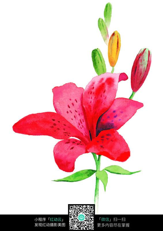 红色百合花水彩画
