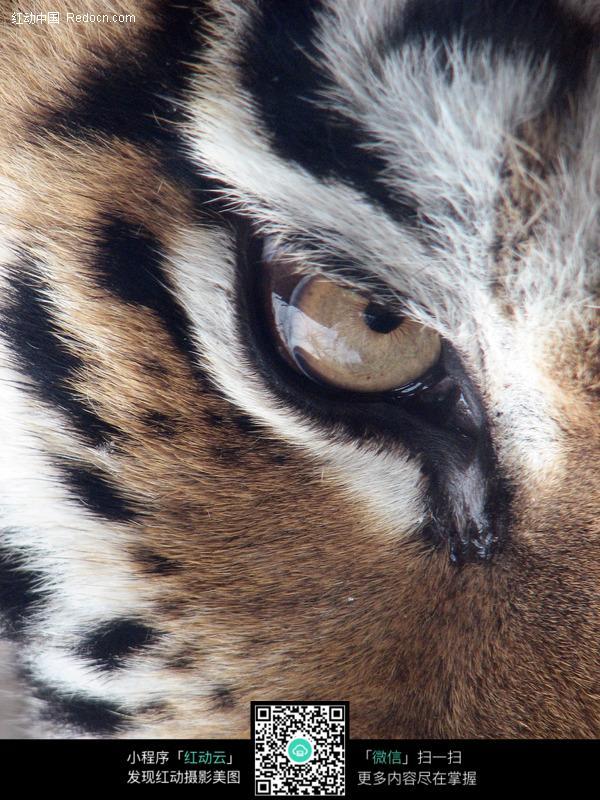 老虎眼睛特写_陆地动物图片