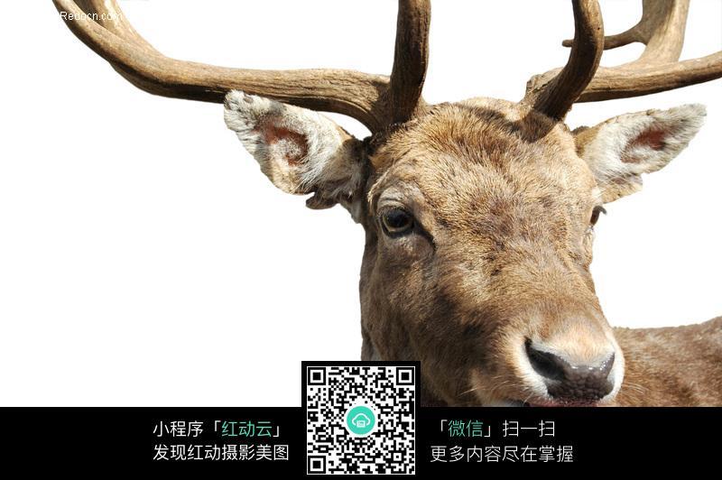 鹿头部特写图片_陆地动物图片
