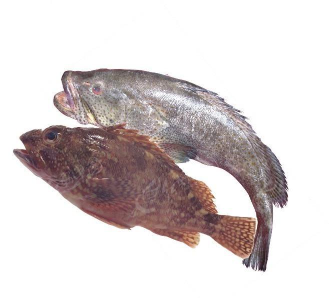 大石斑鱼(透明底图片导入cdr)矢量图_水中动物