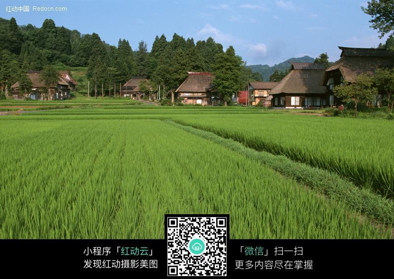 田园风景 稻田农家