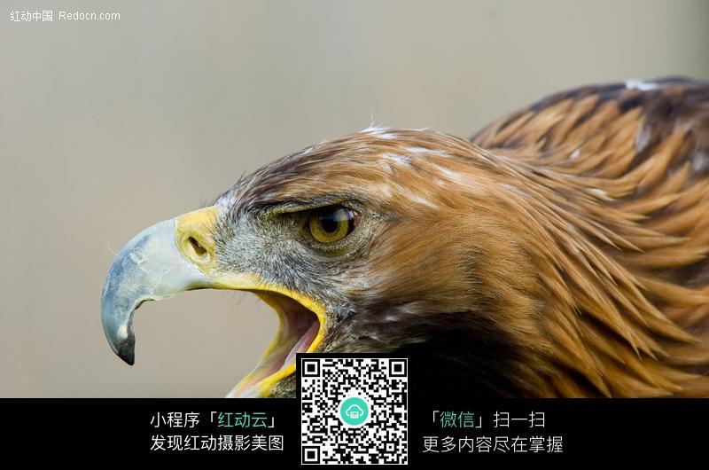 张嘴的苍鹰图片_空中动物图片