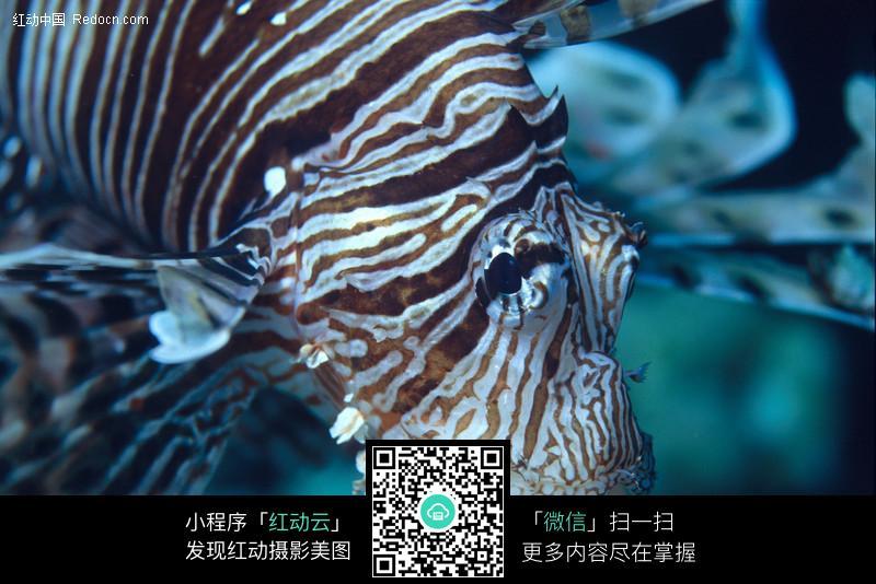 狮子鱼图片_水中动物图片