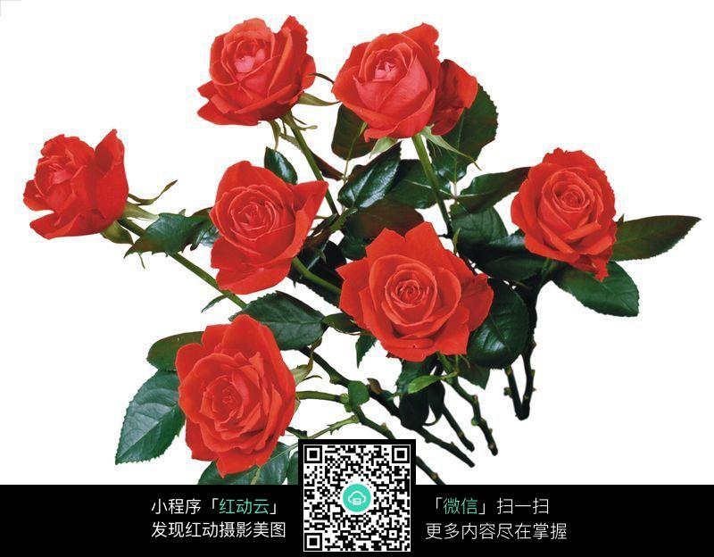一束玫瑰花 情人节玫瑰花图片 玫瑰花花束 花卉 鲜花 花朵 鲜花高精