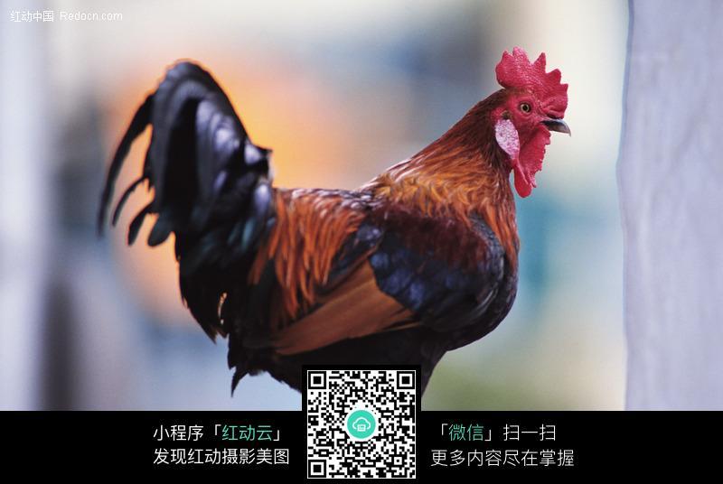 公鸡_陆地动物图片