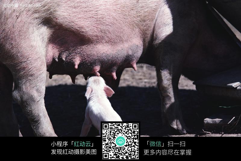 小猪吃奶图片_陆地动物图片