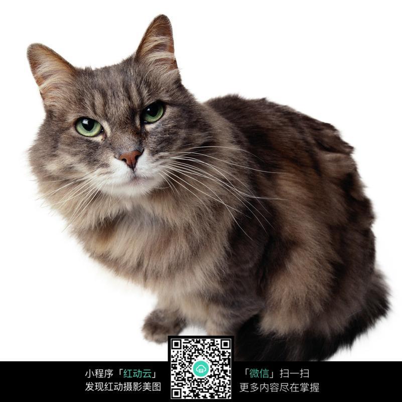 坐着的小灰猫图片