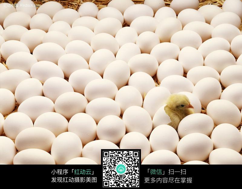 包色鸡蛋中孵化出的小鸡图片